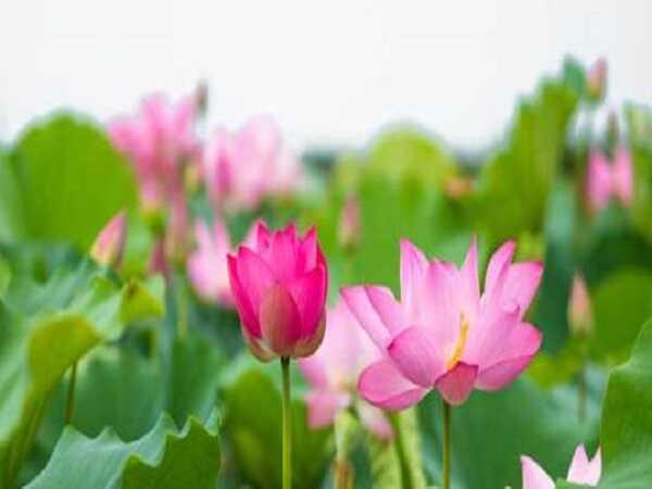 Mơ thấy hoa sen có điềm báo tương lai của bạn