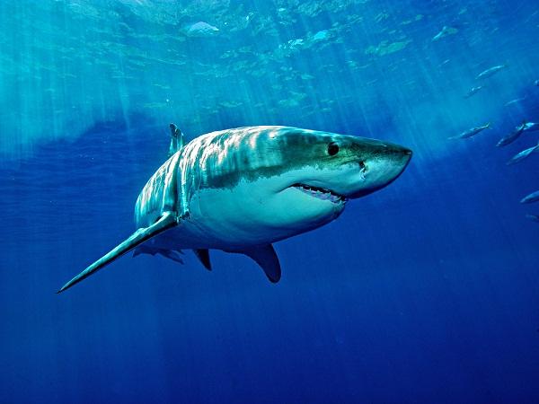 Mơ thấy cá mập điềm báo lành hay dữ?