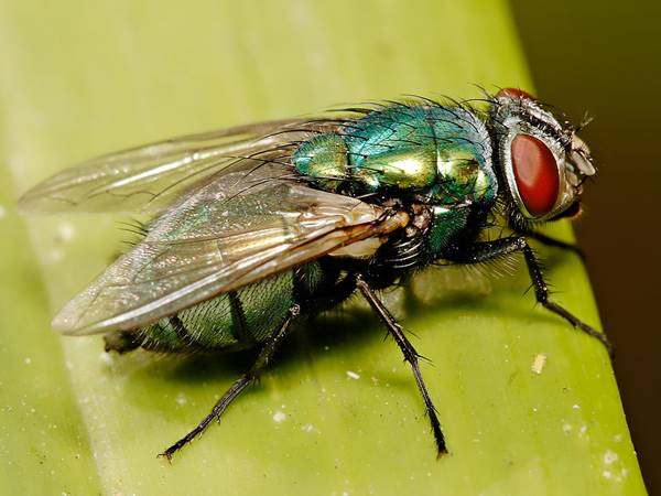 Mơ thấy con ruồi là điềm báo gì? Đánh con nào vào bờ?