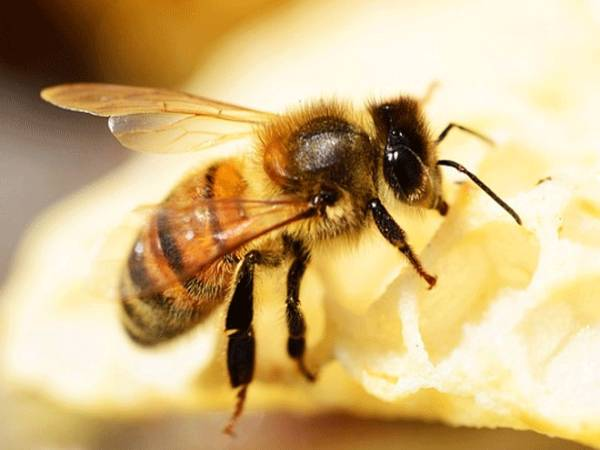 mo thay ong